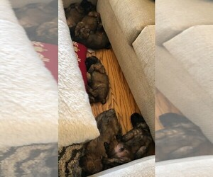 Soft Coated Wheaten Terrier Litter for sale in ACTON, TX, USA