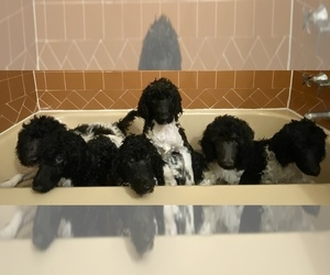 Poodle (Standard) Litter for sale in DALLAS, TX, USA