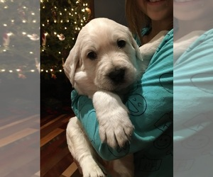 Labradoodle Litter for sale in RICE LAKE, WI, USA