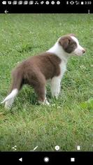 Border Collie Litter for sale in BELLVILLE, OH, USA