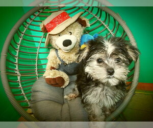 Morkie Litter for sale in PATERSON, NJ, USA