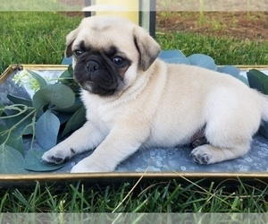 Pug Litter for sale in STACYVILLE, IA, USA