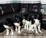 Newfoundland Puppy For Sale in KENNEWICK, WA, USA