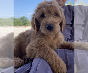 Puppies for Sale in USA, Page 1 (10 per page) - Puppyfinder com
