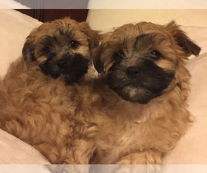 Shih-Poo Litter for sale in FREDERICK, MD, USA