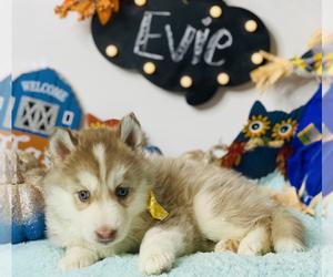 Siberian Husky Litter for sale in HESPERIA, CA, USA