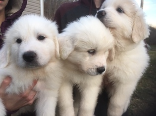 Great Pyrenees Puppy For Sale in RED HOUSE, WV, USA