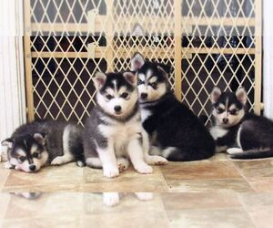 Pomsky Litter for sale in SEBRING, FL, USA
