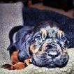 Bloodhound Puppy For Sale in GADSDEN, AL, USA