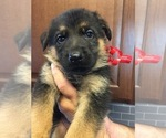 German Shepherd Dog Puppy For Sale in GREENVILLE, MI, USA