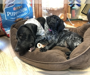 German Shorthaired Pointer Litter for sale in SANBORN, NY, USA