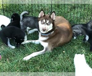 Siberian Husky Litter for sale in KINGSVILLE, MO, USA