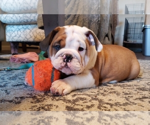 Bulldog Litter for sale in BATESVILLE, AR, USA