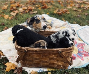 Border-Aussie Litter for sale in BLMGTN, IN, USA