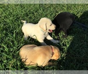 Labrador Retriever Litter for sale in MANES, MO, USA