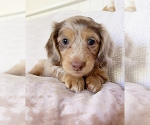 Dachshund Litter for sale in EAST EARL, PA, USA