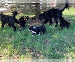 Portuguese Water Dog Puppy For Sale in LAKEVIEW, MI, USA