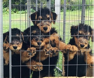Airedale Terrier Litter for sale in MC BAIN, MI, USA