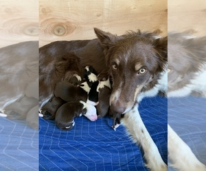 Border Collie Litter for sale in GUSTINE, CA, USA