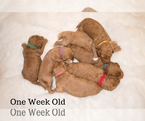 Goldendoodle-Poodle (Miniature) Mix Litter for sale in SIMPSONVILLE, SC, USA