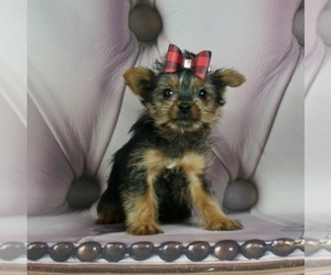 Yorkshire Terrier Litter for sale in WARSAW, IN, USA