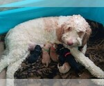 Bernedoodle-Goldendoodle Mix Puppy For Sale in MONTROSE, CO, USA