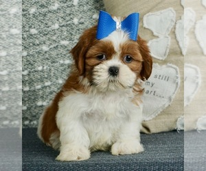 Shih Tzu Litter for sale in WARSAW, IN, USA