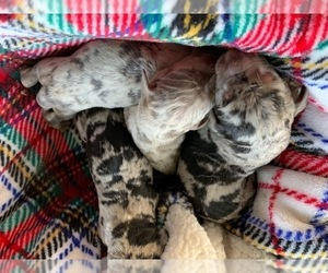 Catahoula Leopard Dog Litter for sale in ATMORE, AL, USA