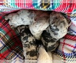 Catahoula Leopard Dog Puppy For Sale in ATMORE, AL, USA