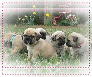 Pug Litter for sale in VICTORIA, VA, USA