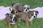 English Bulldog Puppy For Sale in FRISCO, TX, USA
