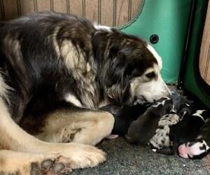 Australian Shepherd Litter for sale in LEXINGTON, NC, USA