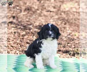 Cavapoo Litter for sale in MILLERSBURG, PA, USA