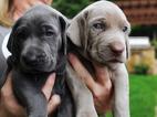 Weimaraner Puppy For Sale in OWASSO, OK, USA