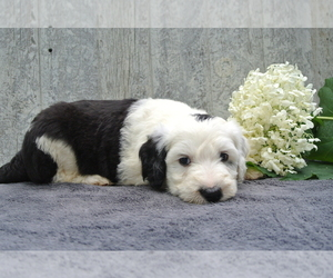 Sheepadoodle Puppies for Sale near Cleveland, Ohio, USA