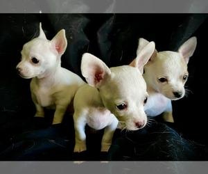 Chihuahua Litter for sale in LEBANON, NJ, USA