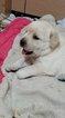 Labrador Retriever Puppy For Sale in PINE, CO, USA