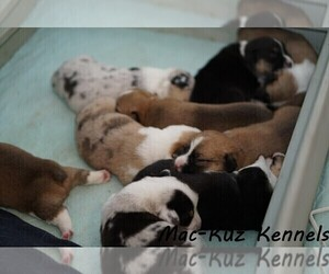 Welsh Cardigan Corgi Litter for sale in SUN PRAIRIE, WI, USA
