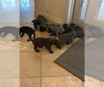 Small Photo #1 Cane Corso Puppy For Sale in SAN ANTONIO, TX, USA