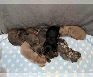 Dachshund Litter for sale in DELTONA, FL, USA