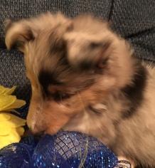 Shetland Sheepdog Litter for sale in LAKE ALFRED, FL, USA