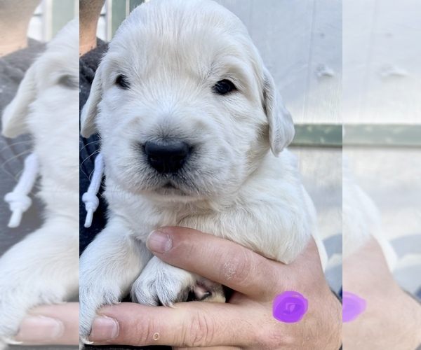 Medium Photo #1 English Cream Golden Retriever Puppy For Sale in WENDELL, NC, USA