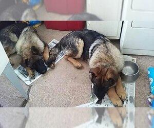 German Shepherd Dog Litter for sale in SEAMAN, OH, USA
