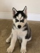 Alaskan Husky Puppy For Sale in ELK GROVE, CA, USA