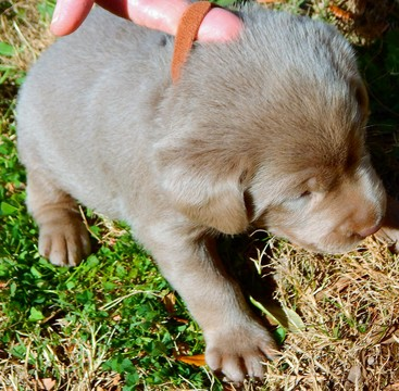 Full screen Photo #1 Labrador Retriever Puppy For Sale in PEARSALL, TX, USA