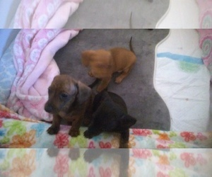 Dachshund Litter for sale in FORT WALTON BEACH, FL, USA