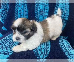 Mal-Shi-Maltese Mix Litter for sale in HASTINGS, MI, USA