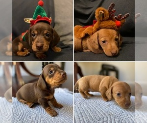 Dachshund Litter for sale in STONY CREEK, VA, USA