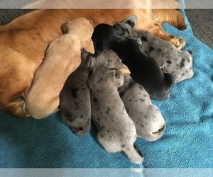 Dachshund Litter for sale in TIGERTON, WI, USA