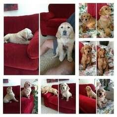 Golden Retriever Litter for sale in EDELSTEIN, IL, USA